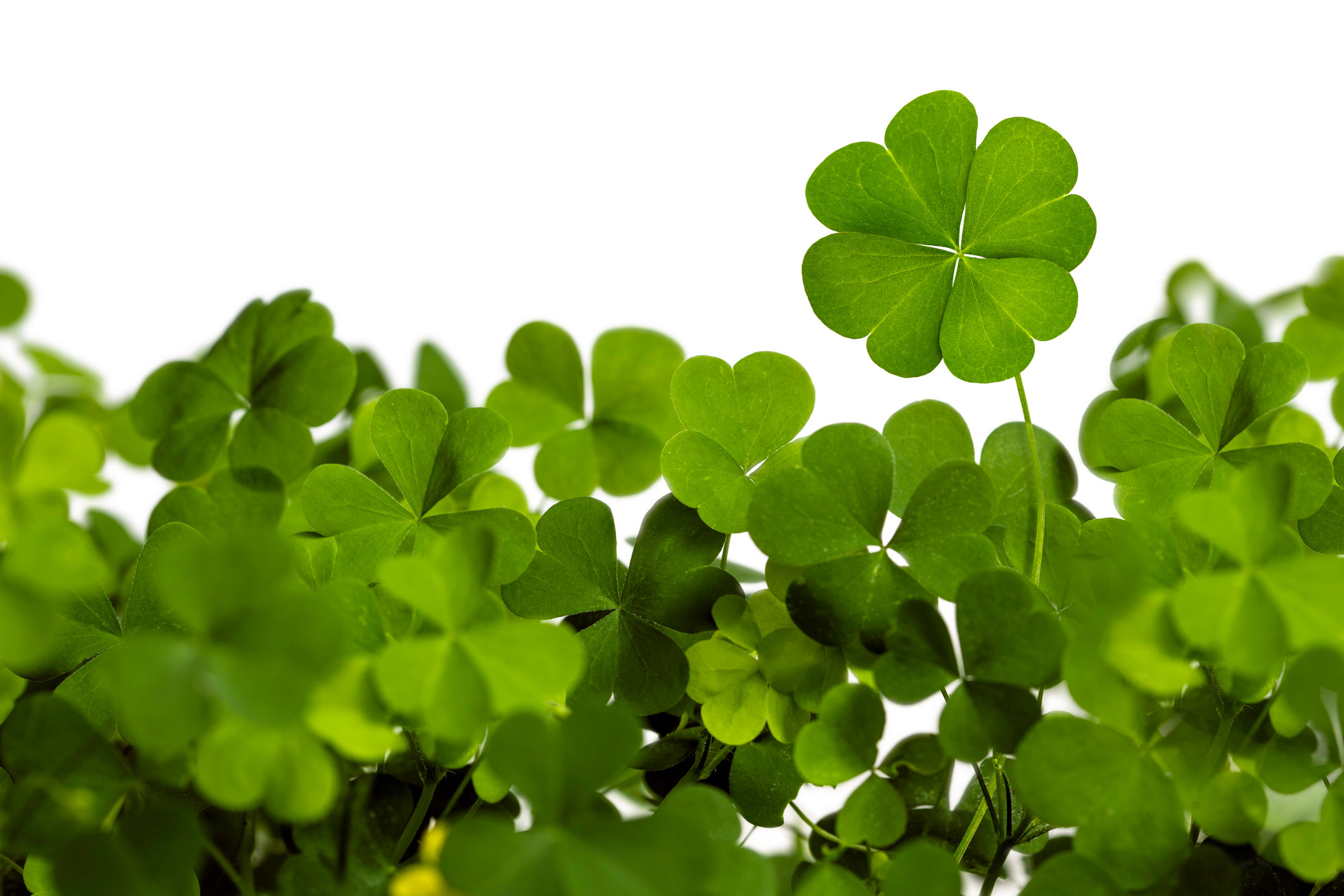 Clover Is Edible Nutrition Health Journal